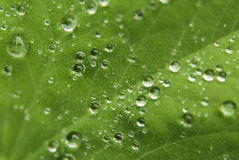 Leaf and Raindrops. Close up of raindrops on a green leaf Royalty Free Stock Photo