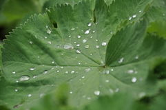 Leaf with raindrops Stock Image