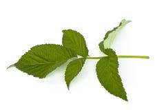 Leaf raspberry Stock Photography