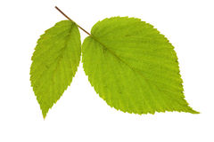 Leaf raspberry on isolated Stock Image