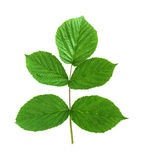 Leaf raspberry isolated on a white Stock Photography