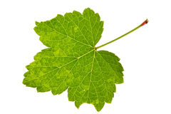 Leaf red currant Stock Photo