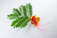 Leaf of Red Flamboyant flower isolated Royalty Free Stock Images