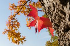 Leaf, Red, Flora, Autumn royalty free stock photo