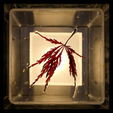 Leaf of a red Japanese maple Stock Photo