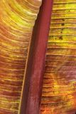 Leaf of a red leafed banana plant stock photo