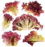 Leaf of red lettuce. Royalty Free Stock Photo