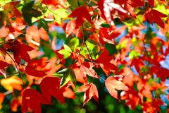 Leaf red maple. Close up leaf red maple in nature stock photos