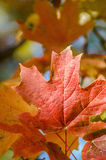 Leaf, red maple tree Stock Photo