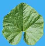Leaf red pumpkin plant royalty free stock image