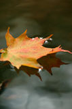 Leaf reflection. Autumn leaf floating on water Royalty Free Stock Photo