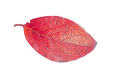 A Leaf of a Rhamnus Royalty Free Stock Photography