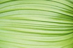 Leaf ribs. Close up of broad green leaf ribs in light and shadow Stock Image