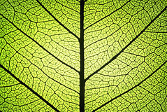 Leaf ribs and veins. Leaf detail showing ribs and veins in back light stock photos