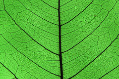 Leaf ribs and veins. Leaf detail showing ribs and veins in back light Stock Photo