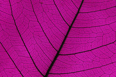 Leaf ribs and veins Royalty Free Stock Images