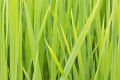 Leaf rice Royalty Free Stock Image