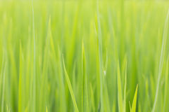 Leaf rice Royalty Free Stock Photography