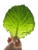 Leaf of Ripe Savoy Cabbage Royalty Free Stock Image