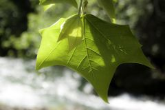 Leaf on the river stock photography