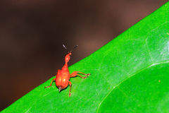 Leaf-rolling Weevil Royalty Free Stock Image