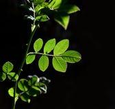 Leaf of rose bush Royalty Free Stock Photo