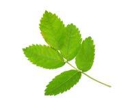 Leaf rosehip Royalty Free Stock Photos