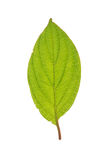 Leaf of Roughleaf Dogwood isolated on white Stock Images