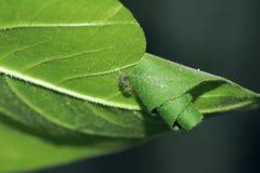 Leaf rouleau Stock Image