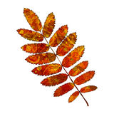 Leaf rowan. Bright red rowan leaf with veins like watercolor on a white background. Vector illustration Royalty Free Stock Photography