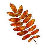 Leaf rowan Royalty Free Stock Photography