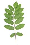 Leaf of rowan tree. Isolated on white Royalty Free Stock Images