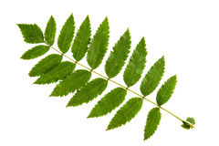 Leaf of rowan tree isolated on white Stock Photo