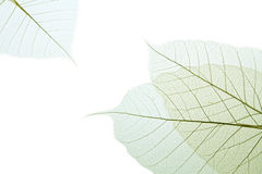 Leaf  rubber tree. Stock Photos