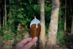 The leaf of the rubber tree Hevea, which runs natural white royalty free stock photos