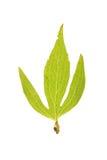 Leaf of Rudbeckia laciniata isolated on white stock images