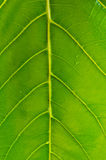 Leaf's vascular channels Stock Photography
