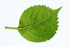 Leaf's veins royalty free stock photo