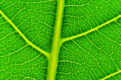 A leaf's veiny texture Royalty Free Stock Photography