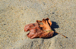 Leaf on the sand at Aliso Beach in South Laguna Beach, California Royalty Free Stock Image