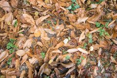 "Leaf sand bank in autumn. A ""carpet` of fallen leaves and curls of chestnut tree, in autumn in  a forest Royalty Free Stock Photo"