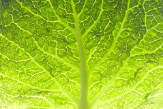 Leaf of Savoy cabbage Stock Photo