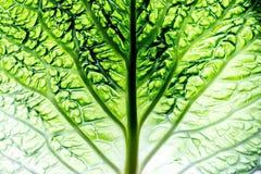 A leaf of a savoy cabbage closeup, the leaf veins and texture, macro. A leaf of a savoy cabbage closeup, the leaf veins and texture, macro stock photo
