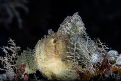 Leaf Scorpionfish and Black Background Stock Images