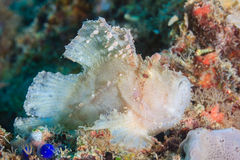 Leaf Scorpionfish on a coral reef Royalty Free Stock Photo