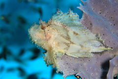 Leaf Scorpionfish Stock Images
