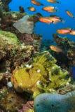 Leaf Scorpionfish Royalty Free Stock Image