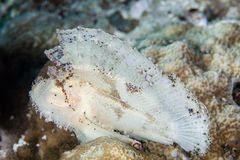 Leaf Scorpionfish. A well-camouflaged Leaf scorpionfish sits on a reef in Wakatobi National Park, Indonesia. This remote, tropical region south of Sulawesi is Stock Images