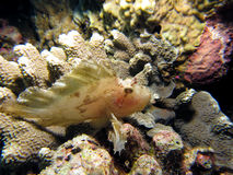 Leaf Scorpionfish Royalty Free Stock Photos