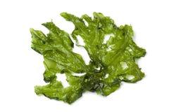 Leaf of Sea lettuce Royalty Free Stock Photos